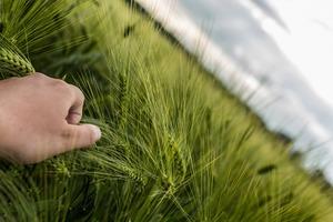 Egy különleges gabonánk a ROZS – Amit érdemes tudni róla